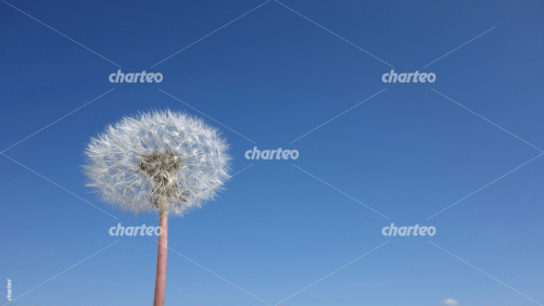 Dandelion seed head with cloudless blue sky