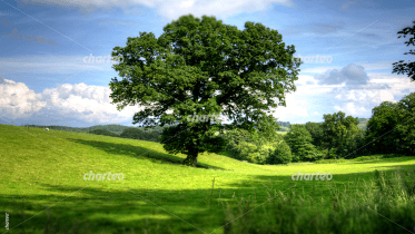 Grassy landscape with oak tree in the meadow