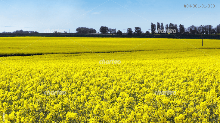 Canola field with trees in the distance