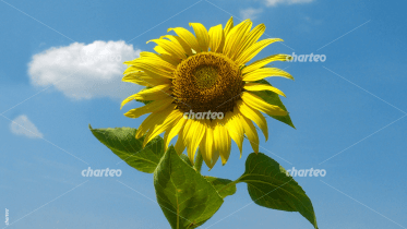 Single sunflower in front of blue sky