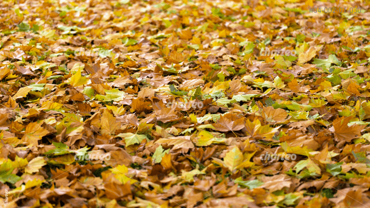 Yellow-brown foliage leaves covering the ground